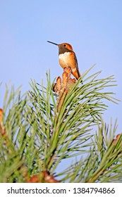Rufous Hummingbird, male sitting on top of pinetree branch against blue sky.