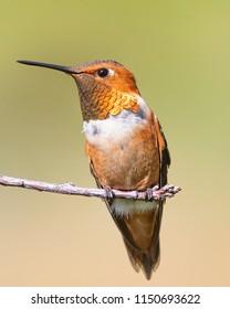 Rufous Hummingbird Perched on Limb