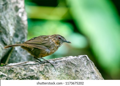 Rufous limestone-babbler, Adult has crown to back grey-brown with very thin black scaling, upperpart feathers also with narrow pale shaft-streaks, rump unmarked brown; upperwing and tail