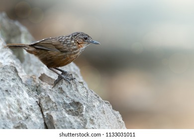 Rufous Limestone-babbler or Limestone wren Babbler,a new bird species of the world  be found only and usually on limestone mountain in Saraburi,Thailand. Rufous Limestone-babbler standing on limestone