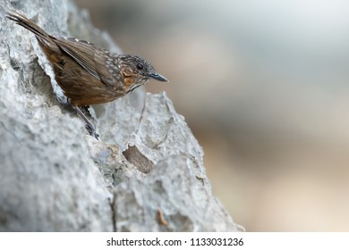 Rufous Limestone-babbler or Limestone wren Babbler,a new bird species of the world  be found only and usually on limestone mountain in Saraburi, Thailand. Rufous Limestone-babbler sitting on limestone
