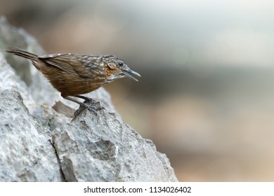 Rufous Limestone-babbler or Limestone wren Babbler,a new bird species of the world  be found only and usually on limestone mountain in Saraburi,Thailand. Rufous Limestone-babbler singing on limestone