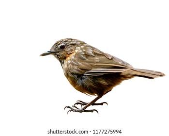Rufous Limestone-babbler or Limestone Wren-babbler (Turdinus crispifrons calcicola) rare brown bird living on stone mountain edemic of Saraburi, Thailand isolated on white background