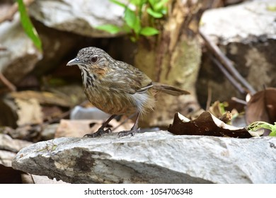 Rufous Limestone-babbler is New Endemic of Thailand, New Species of the World (2017).Limestone bird on the rock or stone.had been only a subspecies of Limestone Wren-babbler
