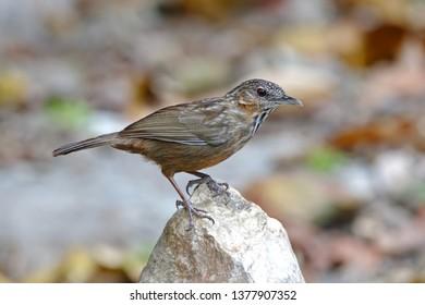 Rufous Limestone-babbler Turdinus calcicola Beautiful Birds of Thailand