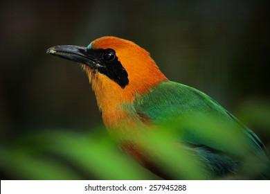 Rufous Motmot, Baryphthengus martii, colorful bird from tropical Costa Rica.