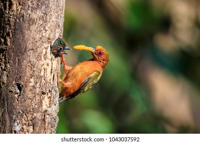 Rufous Piculet feed the baby in the nature of southern Thailand.