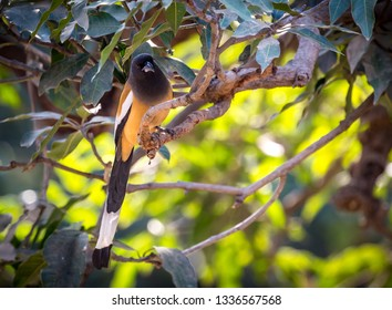 Rufous treepie, common, colorful and friendly bird of Ranthambor