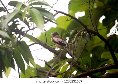 Rufous treepie (Dendrocitta vagabunda) bird on a tree. It is a treepie, native to the Indian Subcontinent and adjoining parts of Southeast Asia.