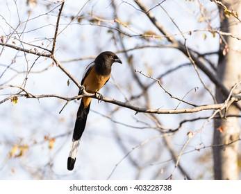 Rufous Treepies (Dendrocitta vagabunda), a member of crow family in Ranthambore National park, Rajasthan, India