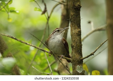 rufous and white wren (Thryophilus rufalbus) songbird of the wren family perched in the forest, Palmichal Venezuela