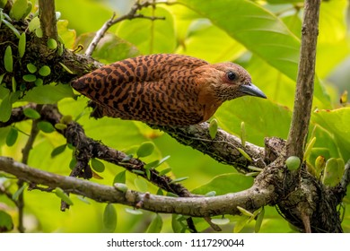 Rufous Woodpecker in tree