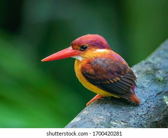 Rufous-backed Kingfisher perch low looking for food