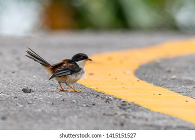 Rufous-backed Sibia perching on roadside finding flying termite before rain