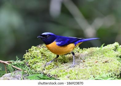 Rufous-bellied Niltava  bird