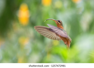 Rufous-breasted hermit (Glaucis hirsutus) hovering in the air, caribean tropical forest, Trinidad and Tobago, bird on colorful clear background,beautiful hummingbird in flight