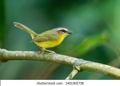Rufous-capped Warbler - Basileuterus rufifrons, Chestnut-capped warbler - Basileuterus delattrii  a New World warbler native from Mexico south to Central America.