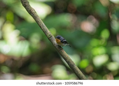Rufous-chested flycatcher (Ficedula dumetoria) as known as sambar dada oren by local. Is a species of bird in the family Muscicapidae. . Green nature background