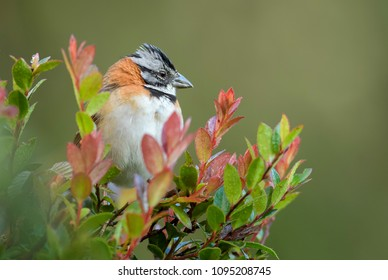 Rufous-collared Sparrow - Zonotrichia capensis, beautiful small New World sparrow, Costa Rica.