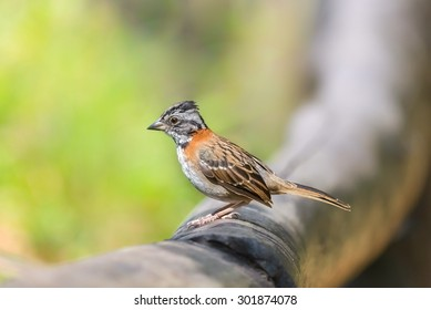 Rufous-collared sparrow (Zonotrichia capensis) on a log, in Venezuela. Seen at Waraira Repano National Park (El Avila mountain)