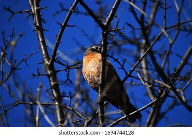 Rufous-collared Thrush, Robin on a branch with red and white breast
