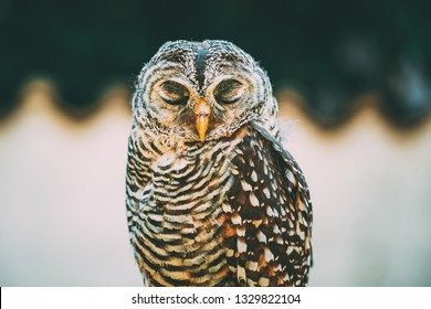 Rufous-legged Owl (Strix Rufipes) Is A Medium Sized Owl With No Ear Tufts. Wild Bird. Close Up Head, Face. Birds Eye Closed