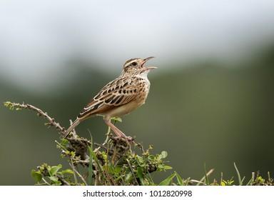 Rufous-naped lark calling