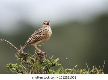 Rufous-naped lark calling, Masai Mara