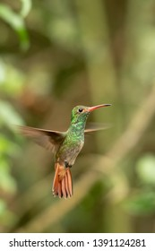 Rufous-tailed Hummingbird (Amazilia tzacatl) - Hovering
