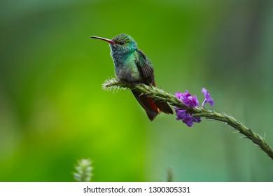 Rufous-tailed Hummingbird (Amazilia tzacatl) posing on a tree branch. Wildlife scene from Costa Rica.