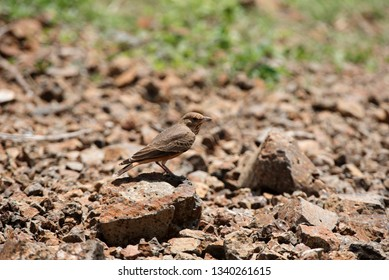 Rufous-tailed lark, Ammomanes phoenicura, Saswad, Pune district, Maharashtra, India.