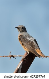 Rufous-tailed rock thrush perched on fence