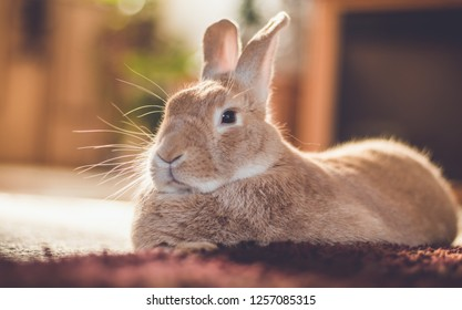 Rufus bunny rabbit relaxes next to shag carpet in warm tones, vintage setting
