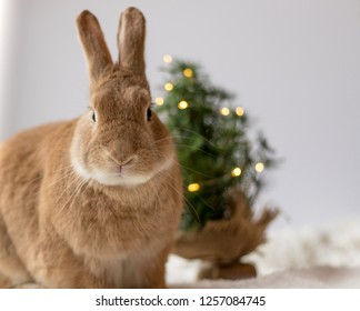 Rufus Rabbit poses in front of small Christmas tree with soft light, room for text