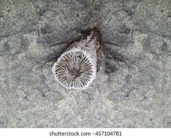 Rugosa fossil, also known as horn coral, in Permian siltstone rock platform. Ulladulla, New South Wales, Australia.