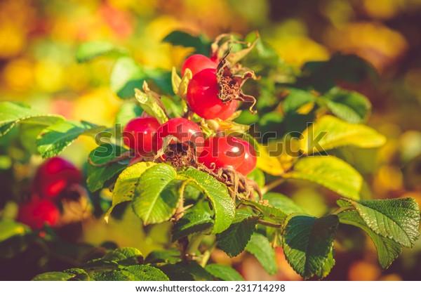 Rugosa Rose Hips in autumn sun