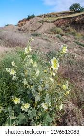 Rugose Hollyhock (Alcea taurica) in coastal hills, Crimea