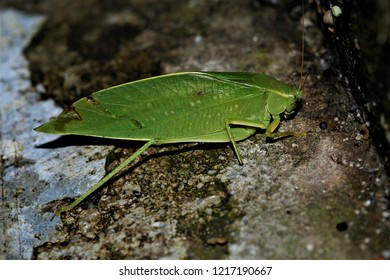Ruidocollaris truncatolobata, a katydid found in Southwest China.