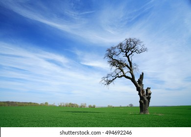 Ruin of a Mighty Oak Tree on Green Field in Spring, only on branch is still alive, blue Sky with clouds