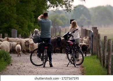 Ruinen, Netherlands - May 10, 2020: Cyclists and herd of Drenthe heath sheep in Dwingelderveld, Netherlands