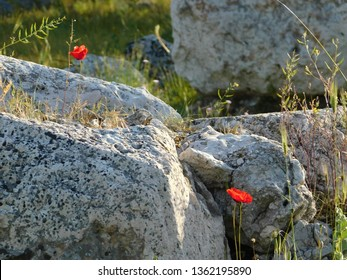 Ruins of the ancient temple of Aphrodite, or Venus, in Attica, Greece. Red poppies among old stones