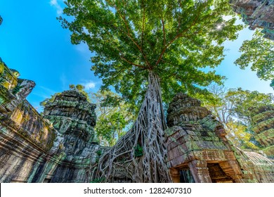 Ruins of Ta Prohm covered by Tetrameles Tree, Angkor, Siem reap