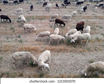 Ruminant domestic mammalia. Ovine cattle breeding. Spanish white and black animals seen from above grazing in the field. Feeding on the remains of the wheat and barley crop. Sheep.