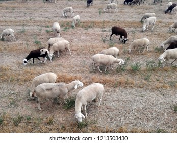 Ruminant domestic mammalia. Ovine cattle breeding. Spanish white and black animals seen from above grazing in the field. Feeding on the remains of the wheat and barley crop. Forages work for sheep.