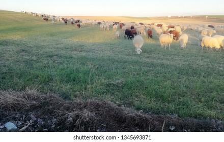 Ruminant domestic mammalia. Ovine cattle breeding. White and black animals in the field.