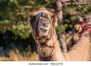 Ruminating camel looking into the camera. Close up portrait. Green trees on background.