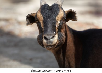 A ruminating goat with thick cheeks.