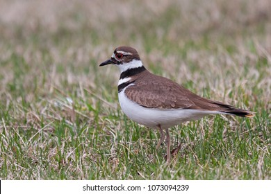 A rummaging killdeer stops to check if it has startled up an insect. The bright red ring around its eye and black and white stripes circling its neck are prominently displayed on the plover.