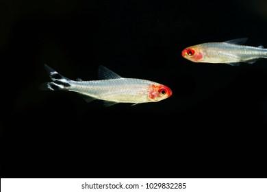rummy-nose tetra (Hemigrammus rhodostomus)