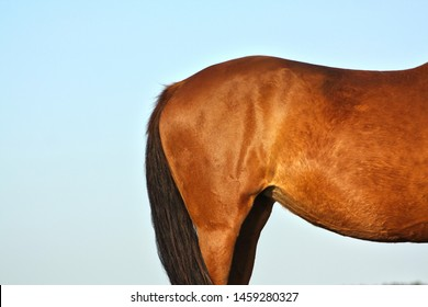 Rump of a chestnut horse against blue sky background in sunset evening light. Animal body part.